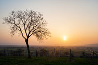 Sonset at vineyards and a tree in Burgenland