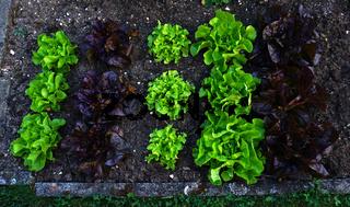 Salatbeet mit verschiedenen Blattsalaten