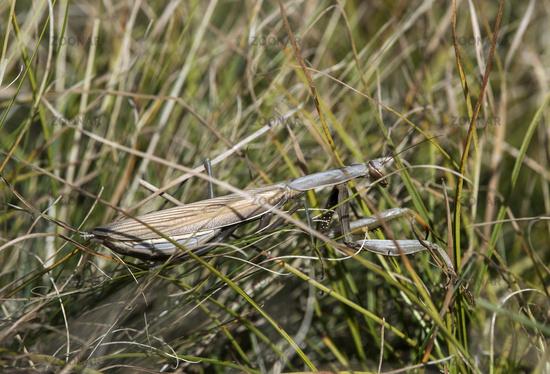 Well camouflaged European praying mantis (Mantis religiosa)