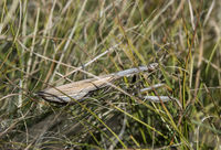European mantis (Mantis religiosa) well camouflaged in the grassland