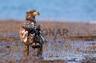 Magnificent white-tailed eagle standing on floodplain in spring.