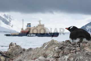 Guest in Antarctica, Gentoo penguin looking at ice-breaker.