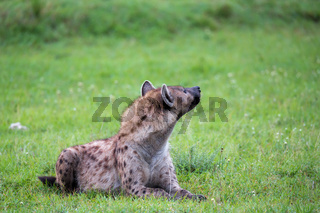 A hyena is lying in the grass in the savannah in Kenya