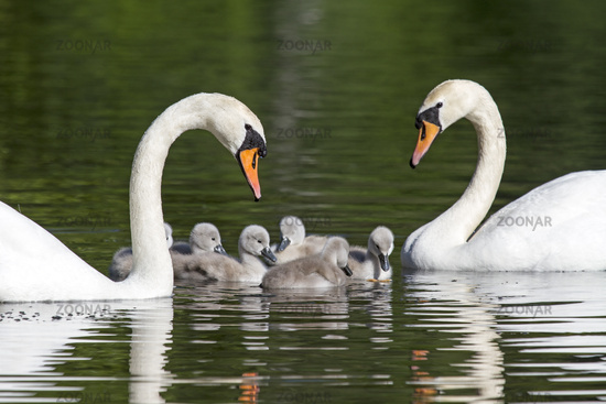 White swan with young animals / Cygnus olor