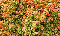 Big bush of geranium