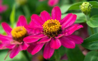 Garden Zinnia, Zinnia hybrida