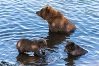 Wild Kamchatka brown she-bear with two cubs fishing red salmon fish in river during fish spawning