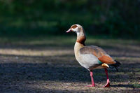 Egyptian goose (Alopochen aegyptiaca)