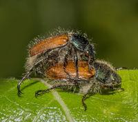 Garden foliage beetle 'Phyllopertha horticola'