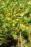 Gooseberry bush with almost ripe berries in the garden, Germany