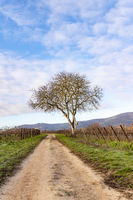 Bare walnut stands on a path between vines in winter against a blue cloudy sky