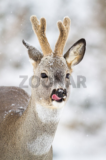 Roe deer buck with antlers in velvet licking with tongue in snowfall.