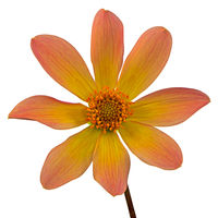 Isolated yellow dahlia flower blossom