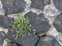 Close-up of sea purslane, Halimione portulacoides
