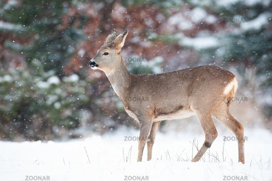 Roe deer doe standing on meadow in winter nature.