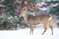 Roe deer doe standing on meadow in winter nature.