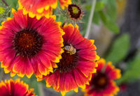 Red-yellow cockade flower blooming with blurred cockade flowers in the background and a bee