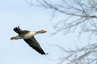 Greylag Goose in Upper Lusatia