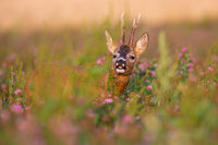 Roe deer buck sniffing with nose on a field illuminated by morning sun in summer