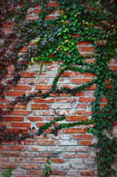 Wild grapes on a vintage red brick wall