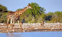 Drinking giraffe, Etosha National Park, Namibia, (Giraffa camelopardalis)