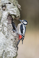 Female Great spotted woodpecker, Dendrocopos major