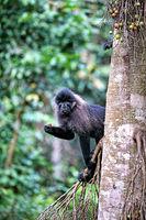 Uganda mangabey at Kibale National Park Uganda (Lophocebus ugandae)