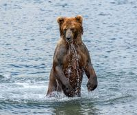 Brown bear standing in water