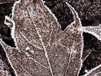 Abstract pattern of frozen maple leaves