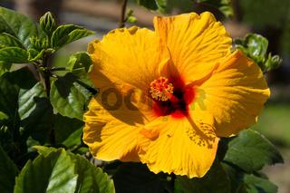 Bright yellow hibiscus blossom