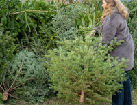 Woman dumps a Christmas fir tree after the Christmas party