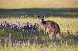 Kangaroo in a field of flowering  bushland