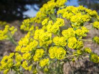 Euphorbia cyparissias_Spurge detail view