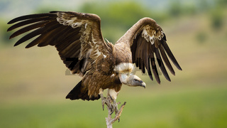 Griffon vulture landing on a perch with wings spread in summer