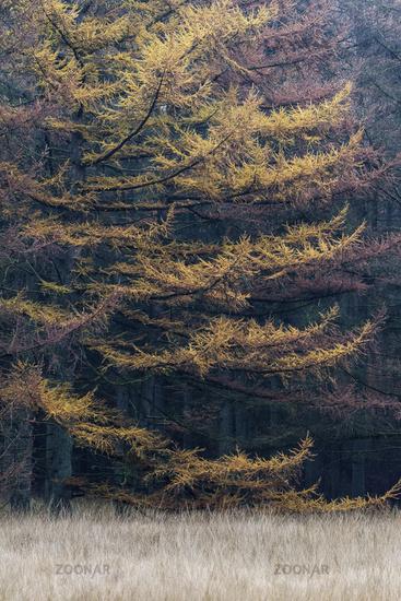 Larch forest in autumn / Christinenthal  -  Schleswig-Holstein