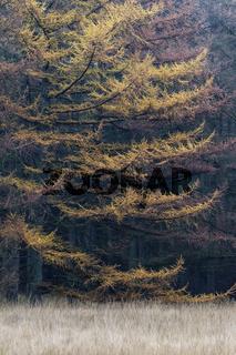 Laerchenwald im Herbst am Rand einer Waldwiese / Lohfiert - Schleswig-Holstein