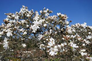 weisse magnolie