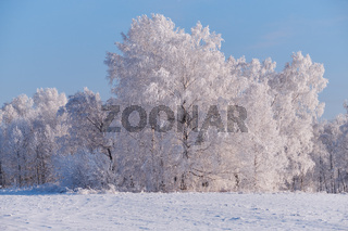 Frozen birch trees covered with hoarfrost and snow.