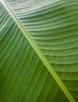 banana leaf closeup