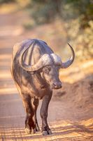 African buffalo walking towards the camera.