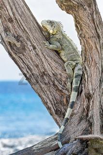 Green iguana climbing in tree at coast