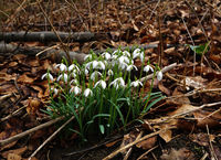 snowdrop in the forest