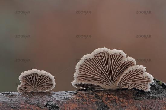 Common cleavers (Schizophyllum commune)