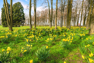 Park filled with yellow daffodils in the spring