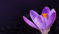 Macro shot of purple crocus in spring garden. Easter background.
