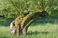 Pollard Willow Tree (Salix viminalis),Rhineland,Germany