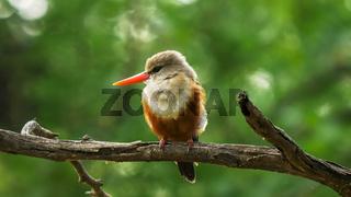 grey-headed kingfisher with foliage background at lake bogoria, kenya