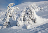 Snow covered fir trees on snowy mountain plateau, tops with snow cornices in far. Magnificent sunny day on picturesque beautiful alps ridge.
