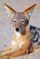 black-backed jackal, Kgalagadi Transfrontier National Park, South Africa, (Canis mesomelas)