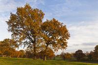 oak trees on meadow in autumn dress